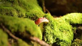Amanita muscaria mushroom. In moos . Fly agaric mushroom in the autumn forest. Nature. Forest. Autumn stock video footage