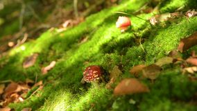Amanita muscaria mushroom. In moos . Fly agaric mushroom in the autumn forest. Nature. Forest. Autumn stock video