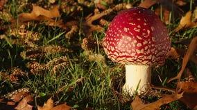 Amanita Muscaria Mushroom stock footage