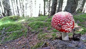Amanita muscaria mushroom Stock Images
