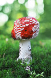 Amanita muscaria - mushroom toadstool Royalty Free Stock Photography