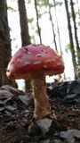 Amanita muscaria. Amanita mushroom in the woods Royalty Free Stock Photography