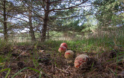 Amanita muscaria mushrooms in pine forest. Fly agaric mushrooms row on the floor of a pine forest, accompanied by pinecones lying on the ground royalty free stock images