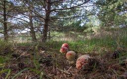 Amanita muscaria ono rozrasta się w sosnowym lesie Obrazy Royalty Free
