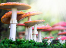 Amanita muscaria, a poisonous mushroom in a forest. Stock Images