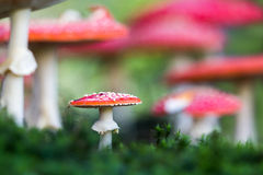 Amanita muscaria, a poisonous mushroom in a forest. Stock Photos