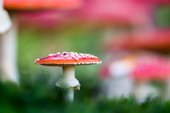 Amanita muscaria, a poisonous mushroom in a forest. Royalty Free Stock Photography