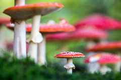 Amanita muscaria, a poisonous mushroom in a forest. Stock Image