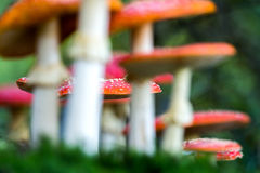 Amanita muscaria, a poisonous mushroom in a forest. Stock Photo