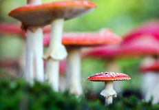 Amanita muscaria, a poisonous mushroom in a forest. Royalty Free Stock Photos