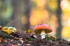 Amanita muscaria, a poisonous mushroom in a forest. Stock Photography