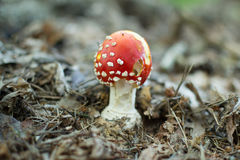 Amanita muscaria. A poisonous mushroom in a forest stock photos