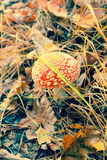 Amanita muscaria, poisonous mushrooms Stock Photos
