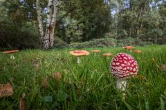 Amanita Muscaria,Red Mushroom in the forest stock image