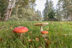 Amanita Muscaria,Red Mushroom in the forest stock images