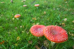 Amanita Muscaria,Red Mushroom in the forest royalty free stock images