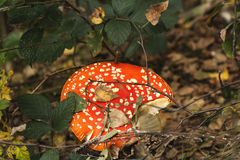 Amanita muscaria. Red mushroom amanita muscaria growing in an autumn forest Royalty Free Stock Photography