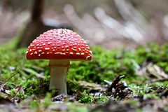 Amanita muscaria. Red Poisoned Mushroom Growing In The Summer Forest royalty free stock image