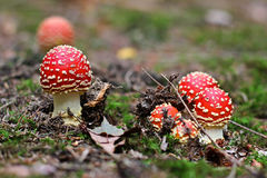 Amanita muscaria. Red Poisoned Mushroom Growing In The Summer Forest royalty free stock photography
