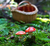 Amanita muscaria. Red Poisoned Mushroom Growing In The Summer Forest stock image