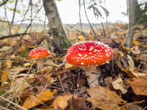 Amanita muscaria, the red poisonous mushroom with white flakes, in a forest Stock Photo
