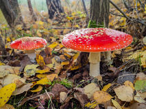 Amanita muscaria, the red poisonous mushroom with white flakes, in a forest Royalty Free Stock Photos