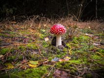 Amanita muscaria, red with white dots mushroom. Red and white poisonous mushroom or toadstool in the forest royalty free stock photo