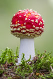 Amanita muscaria Royalty Free Stock Image