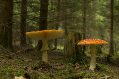 Amanita muscaria. Two mushrooms, red fungus Stock Photography