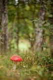 Amanita muscaria w lesie obraz royalty free