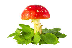 Amanita mushroom. On the grass isolated on white Royalty Free Stock Photo