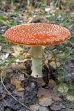 Amanita mushroom. Royalty Free Stock Photos