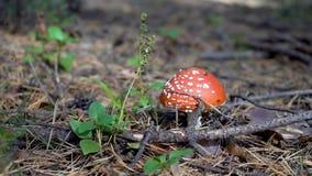 Amanita mushroom. Close up. Poisonous mushroom