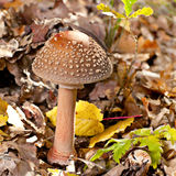 Amanita mushroom. Closeup in forest Stock Image
