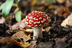 Amanita mushroom in forest. Amanita in forest with leafes, Russia Stock Photos