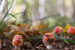 Amanita mushroom in the forest Stock Photography
