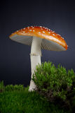 Amanita Mushroom Growing in Moss Stock Image