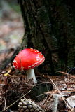 Amanita Royalty Free Stock Images