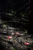 Amanita nella foresta Fotografia Stock Libera da Diritti
