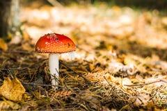Amanita no fundo da grama seca e das coníferas Imagem de Stock
