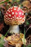 Amanita non commestibile tossica di rosso del fungo Fotografie Stock Libere da Diritti