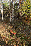 Amanita non commestibile tossica di rosso del fungo Immagini Stock Libere da Diritti