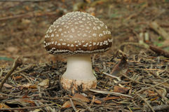 Amanita pantherina Stock Photography