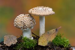 Amanita  pantherina Royalty Free Stock Photography