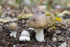 Amanita pantherina mushroom Stock Image