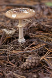 Amanita phalloides. Stock Photos