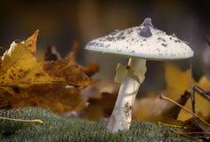 Amanita Phalloides grzyb, jadowity temat w dzikiej górze zamkniętej w górę deszczowego dnia na zdjęcie royalty free