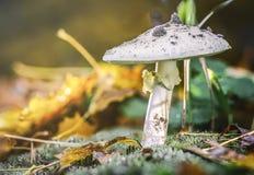 Amanita Phalloides grzyb, jadowity temat w dzikiej górze zamkniętej w górę deszczowego dnia na obrazy royalty free
