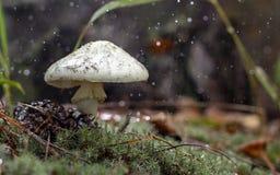Amanita Phalloides grzyb, jadowity temat w dzikiej górze zamkniętej w górę deszczowego dnia na fotografia stock