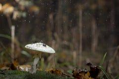 Amanita Phalloides grzyb, jadowity temat w dzikiej górze zamkniętej w górę deszczowego dnia na obraz stock